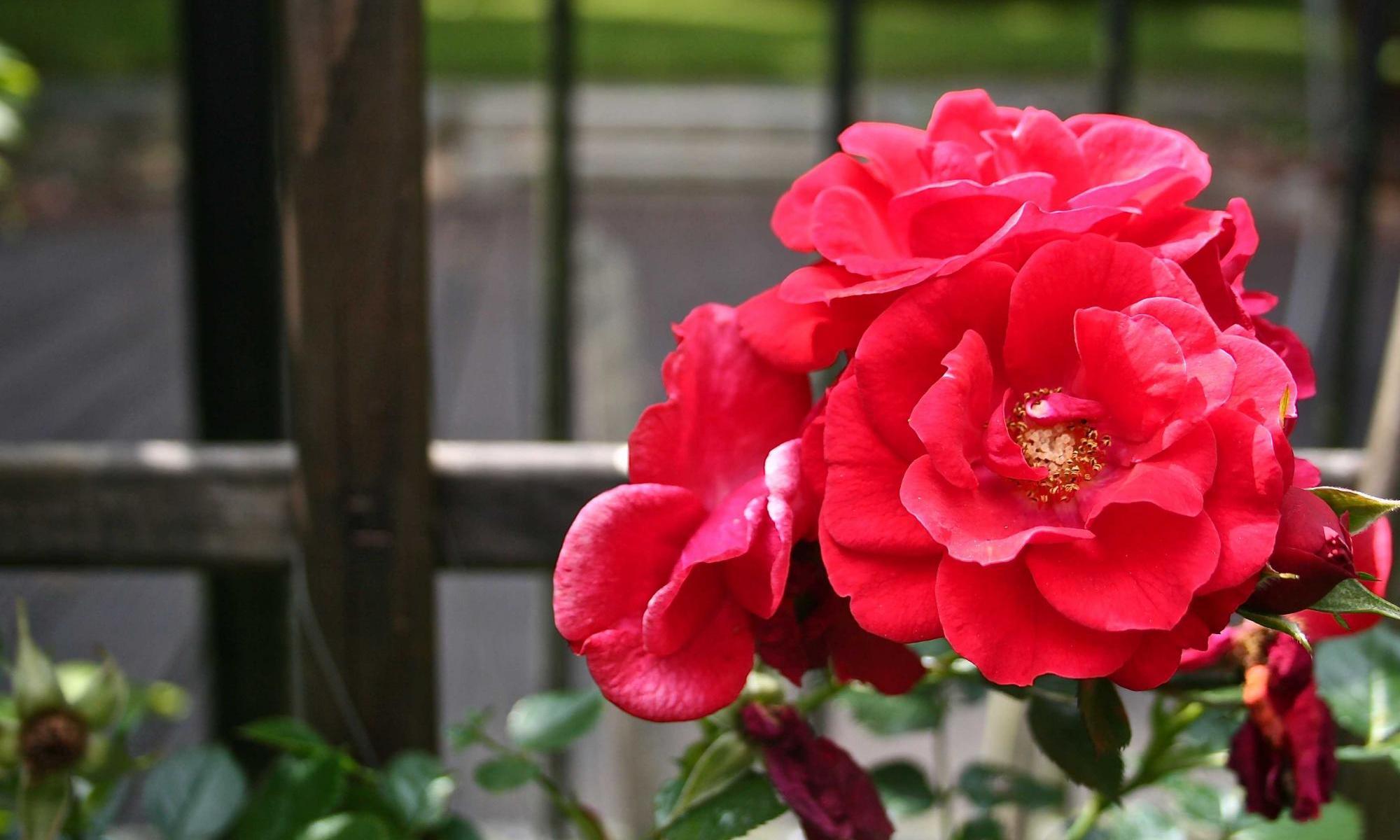 Mirella mit den ewigen Boten der Liebe, den roten Rosen